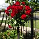 Standard Rose Europeana