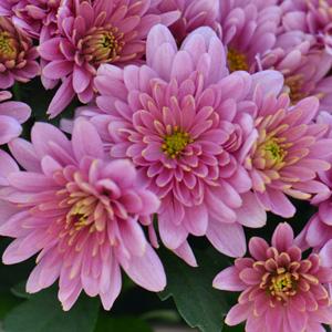 Garden Mum Melissa Pink Flwrs Ball300x300 15