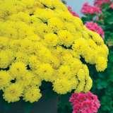 Garden Mum Elektra Yellow Ball 300x300 151