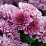 Garden-Mum-Lena-Violet-2-BALL-300x300-15