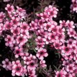 Leptospermum Wiri Shelley