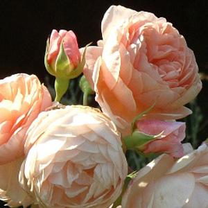 Rose Louisa Stone