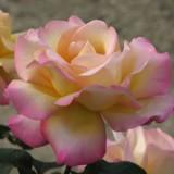 Climbing Rose Peace
