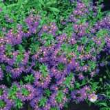 Scaevola_Purple_Fanfare_15