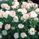 Standard Rose Seduction