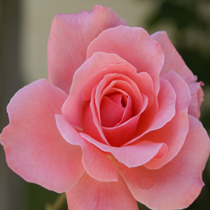 Thornless Rose Smooth Lady Garden Express