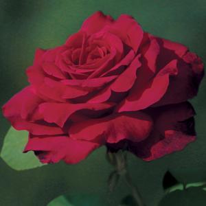 Thornless Climbing Rose Smooth Velvet Garden Express