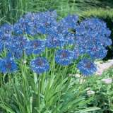 AGAPANTHUS TALL BLUE