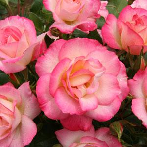Rose Bold Seduction (pbr)