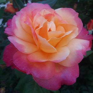 Rose Granada