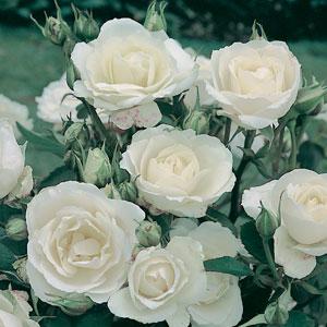 Rose Princess Of Wales (pbr)