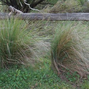 Tussock Grass- Poa Labillardierei