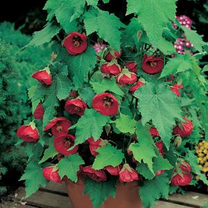 Abutilon Lucky Lantern Red (pbr)