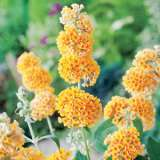 Buddleja_Golden_Glow_14258608PA_15