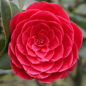 Camellia_Black_Tie_15