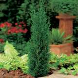 Conifer_Italian_Pencil_Pine_FM16100700PA_15
