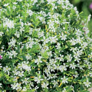 Cuphea White