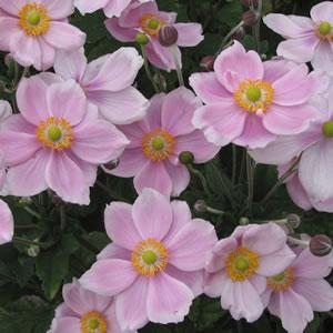 Japanese Windflower Single Pink