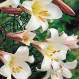 Lilium Regale Close