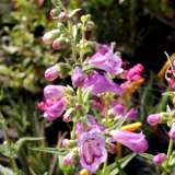 Penstemon Strawberry Taffy (pbr)
