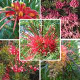 Grevillea Collection (autumn Catalogue)
