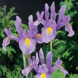Dutch Iris Lilac Beauty