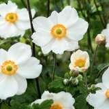 Japanese Windflower Single White