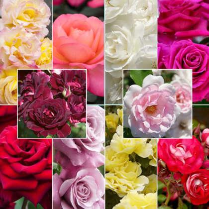 10 Luckdip Roses - Garden Express Australia