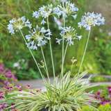 Agapanthus Tinkerbell 15 Fm 14279838pa