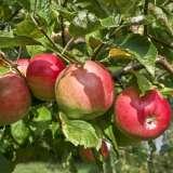 Apple-Gala-ST-270241445-15