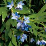 Bluebell Creeper 15 Fm 14225160pa