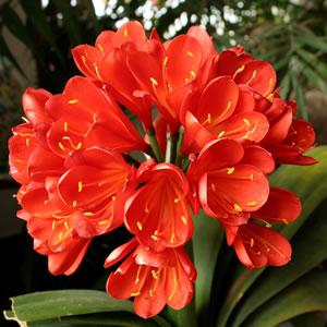 Clivia Red 2013 - Garden Express Australia