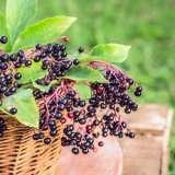 Elderberry-16
