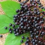 Elderberry-ST-186285554-15