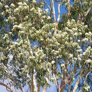 1d8d2d16f61ac Australian Native Plants - Garden Express - Online Nursury