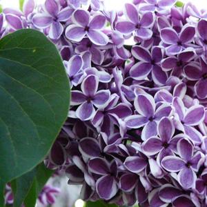 Lilac Sensation Courtesy Photogramma1 Flickr 15