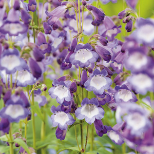 Penstemon_Alice_Hindley_15_FM_14278272PA
