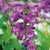 Penstemon Sour Grapes