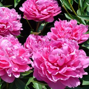 Peony Rose Edulus Superba 15 St 256210033 - Garden Express Australia