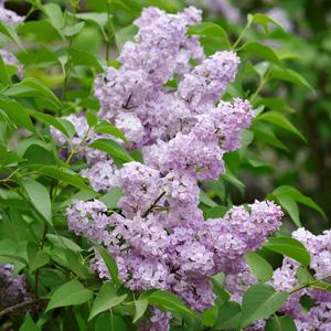Persian Lilac St 168267260 15 - Garden Express Australia