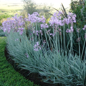 Society garlic garden express for Ornamental grasses that stay green all year