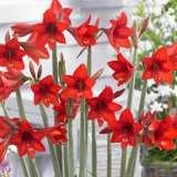 Sonatini Hippeastrum Red Rascal 15 Vis