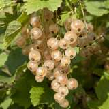 White Currant pkwhicur