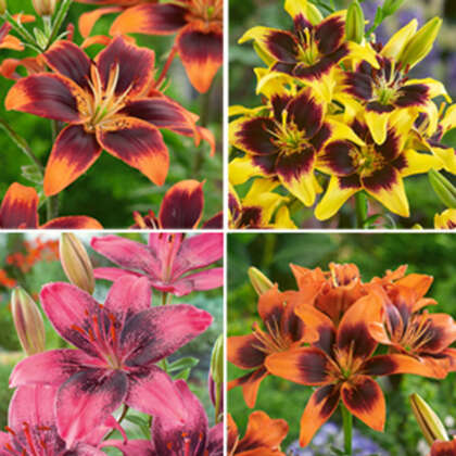 Lilium Asiatic Tango Collection