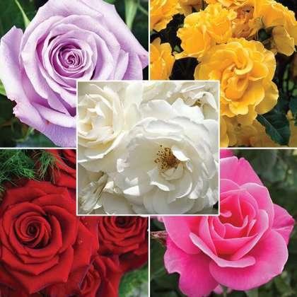 Lucky Dip Rose Offer – 5 Roses