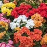 Begonia-Mixed16