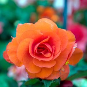 Begonia Orange 16
