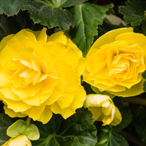 Begonia Yellow 16