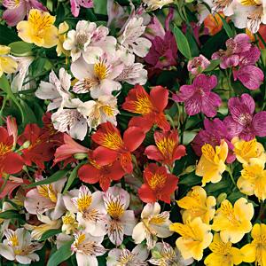 Alstroemeria Peruvian Lilies Garden Express Online Nursery
