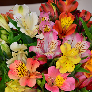 Alstroemeria Tall Mixed